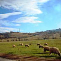Поля етрополе с овцами